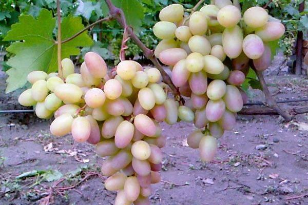 Описание столового морозостойкого сорта винограда Виктор