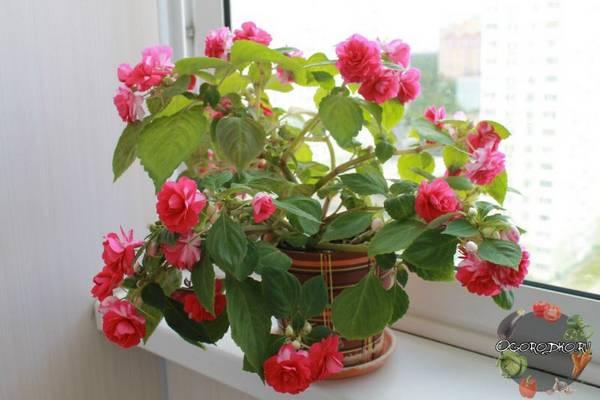 как выращивать бальзамин в домашних условиях
