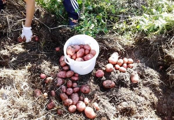 Эффективный способ посадки картофеля - под солому