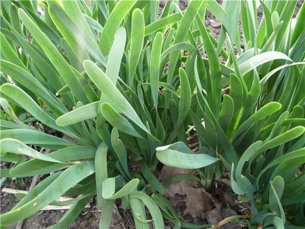 Лук слизун: выращивание из семян или рассады