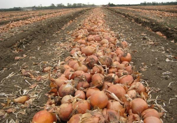 Описание, технология выращивания и уход за озимым луком