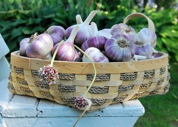Как правильно сажать чеснок под зиму для хорошей урожайности
