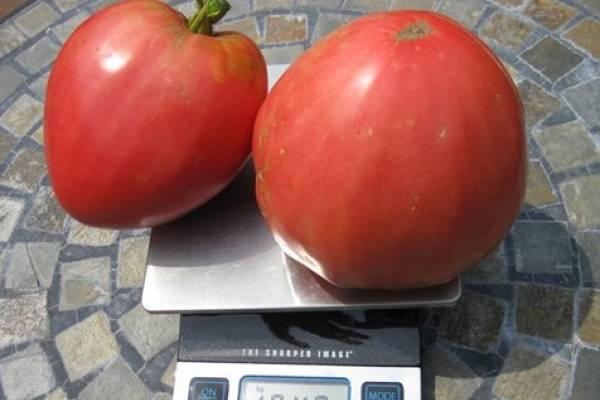 Самые сладкие и лучшие сорта томатов для теплиц