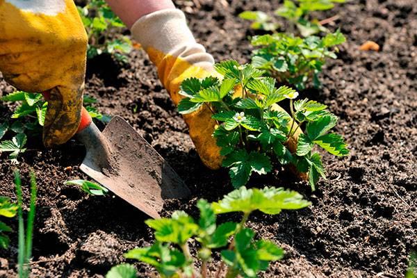 После чего можно сажать клубнику осенью - полезные предшественники