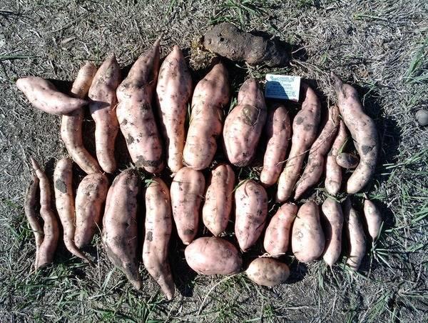 Секреты и правила выращивания батата в средней полосе