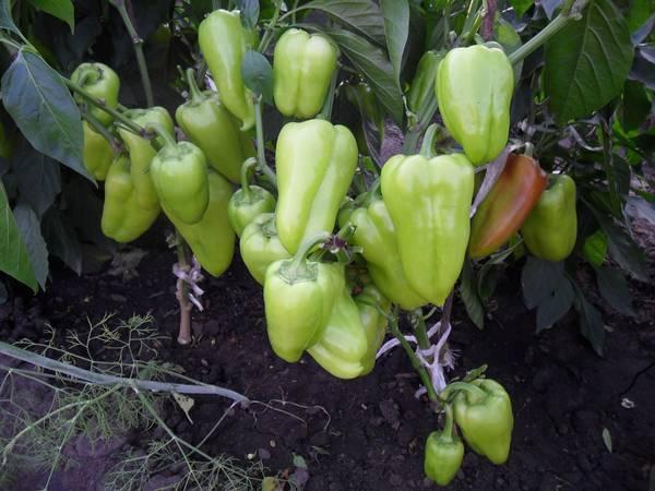 Когда и как высадить рассаду перца в грунт?