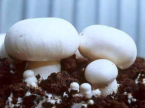 Особенности выращивания шампиньонов в домашних условиях