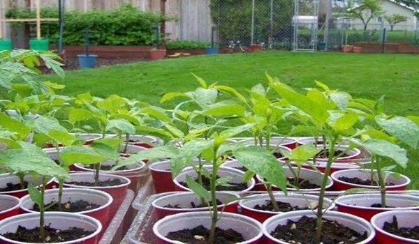 Подготовка семян перца к посеву - инструкция