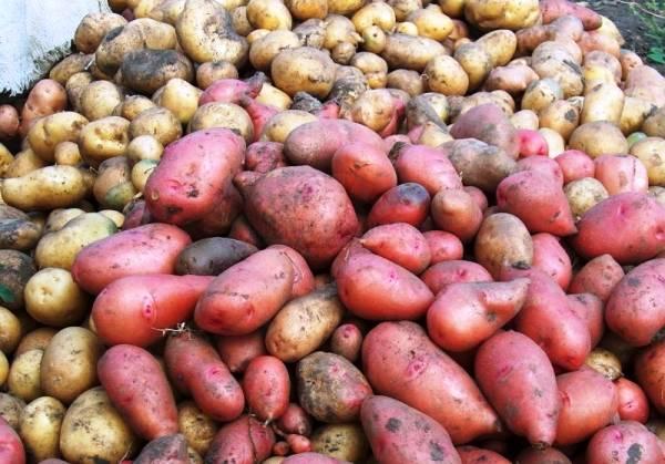 Профилактика и лечение парши картофеля