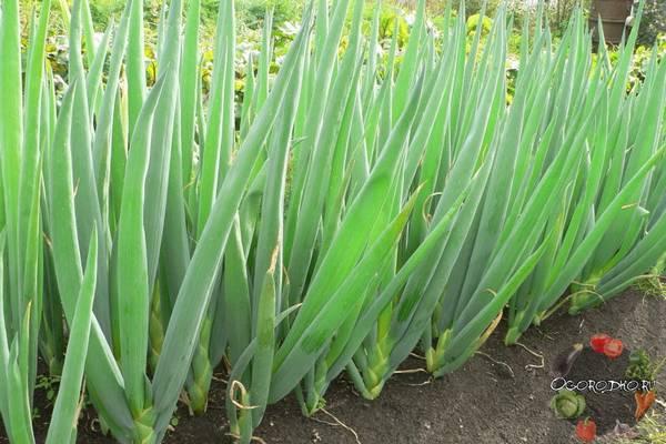 Лук-батун  выращивание и уход, посадка семенами, сроки, рассада, полив, подкормка