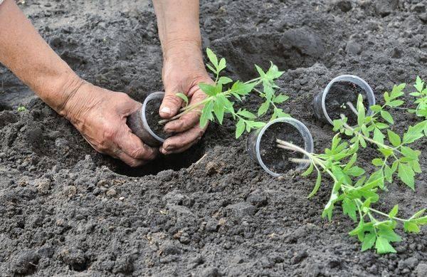 Сроки и лучшие схемы посадки помидоров в открытый грунт