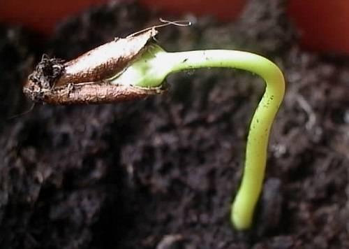 Вырастить дома хурму из косточки совсем не сложно