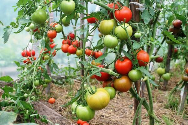 Один из лучших тепличных сортов - томат Благовест