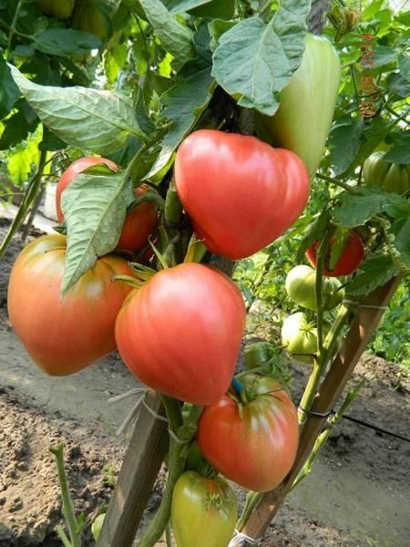 Разнообразие сортов розовых помидоров