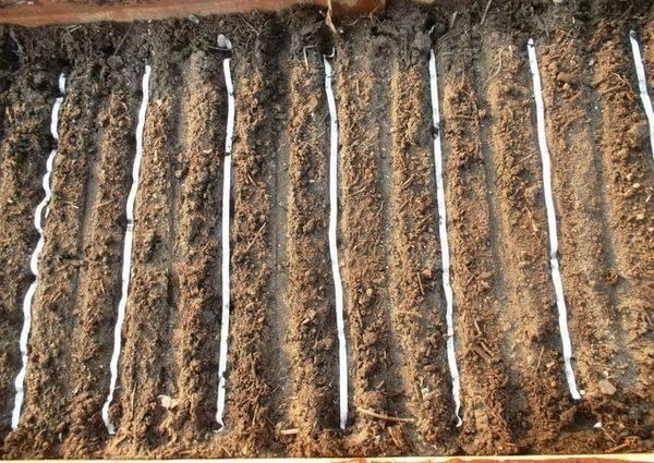 Основы выращивания урожая редиса в теплице