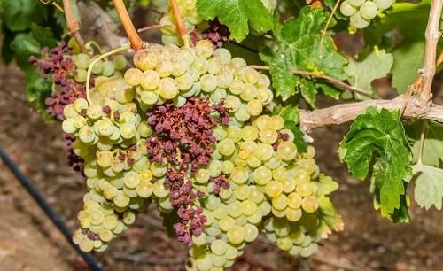 Причины усыхания виноградных кистей и меры борьбы с этим
