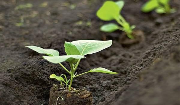 Особенности выращивания и ухода за баклажанами в теплице