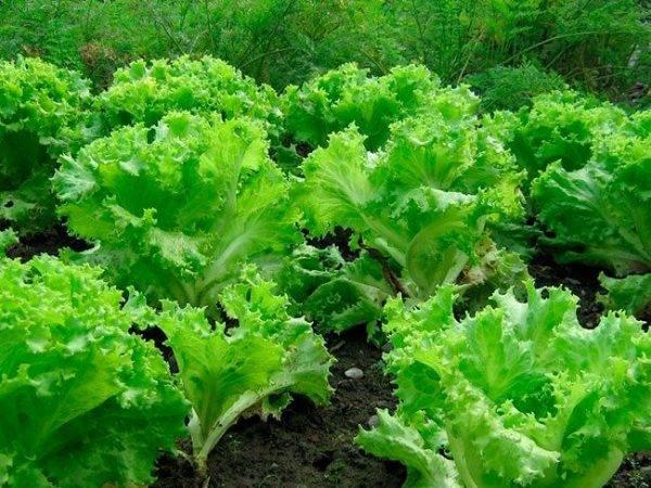 Обзор видов и сортов зеленых салатов