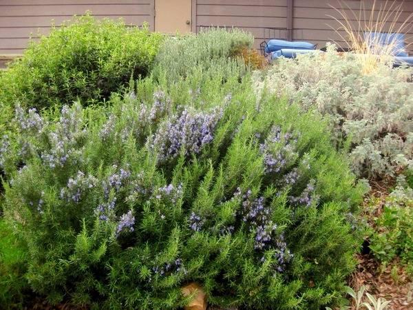 Розмарин: выращивание в открытом грунте и уход