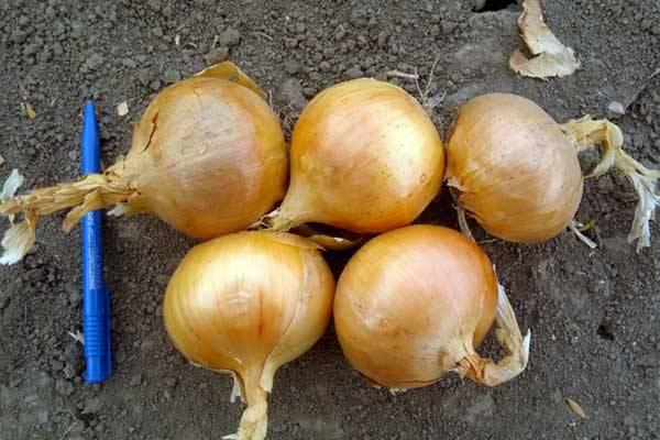 Особенности выращивания лука Халцедон