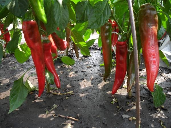 Секреты ухода за перцами в теплице