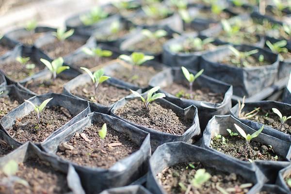 Особенности выращивания баклажанов в открытом грунте в Подмосковье