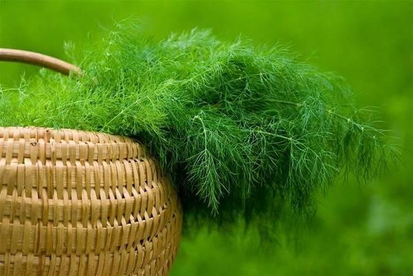 Особенности выращивания укропа: секреты специалистов