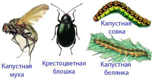 Белокочанная капуста: агротехника выращивания