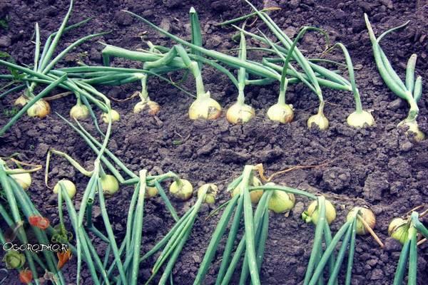 Сорта озимого лука  что лучше выбрать и посадить, на зелень, на репку, описание