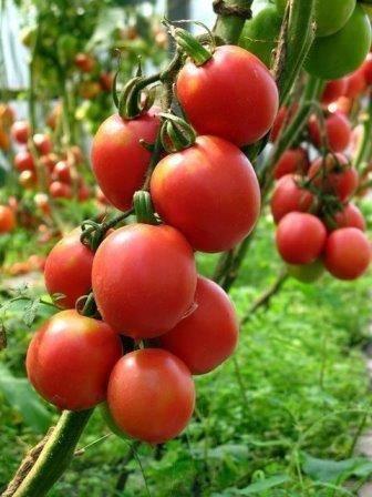 Лучшие высокорослые сорта томатов для теплиц