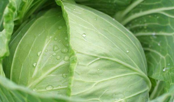 Лучшие сорта капусты с характеристиками