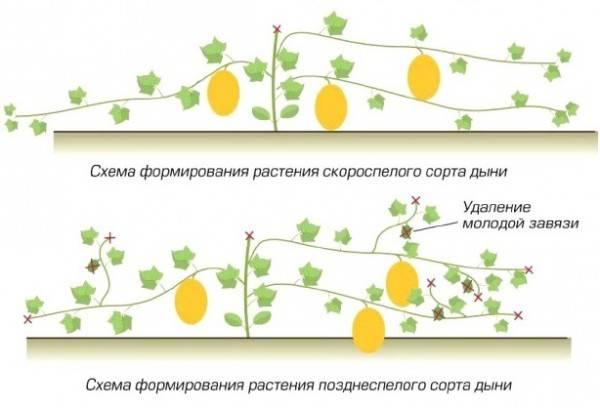 Все о дынях: посев, высадка рассады и сбор урожая