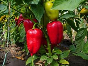 Некоторые секреты и советы выращивания перцев (видео)